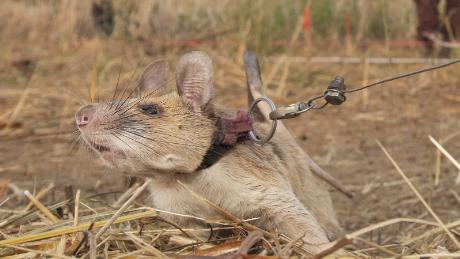 Photo of 'Hero rat' wins gold medal from UK charity for hunting landmines