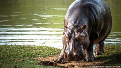 Photo of Escobar's 'cocaine hippos' face cull for ruining habitat