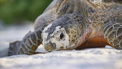 Photo of Saving green turtles… by cooling their eggs