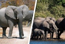 Photo of Zimbabwe to sell hunting rights for endangered elephants