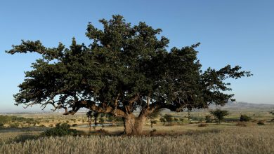 Photo of Ethiopia aims to plant 20 billion trees by 2022